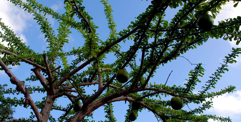 higuero tree vieques
