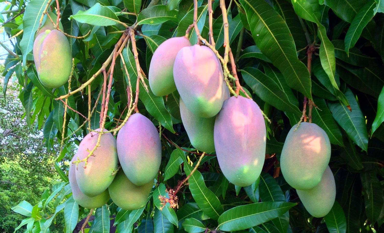 Vieques Mangoes